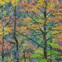 Beech Forest, Austria